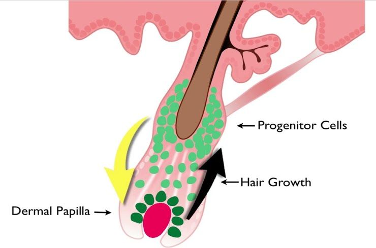 Wound healing concept where inactive adult stem cells are catalyzed by the Hair Regeneration treatment and turned into active progenitor cells. Renewed activity in at cellular level invigorates the hair growth process for thicker hair growth.